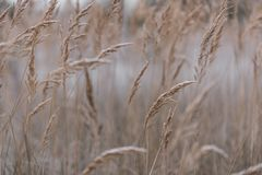 Close-up of wheat field on cold early autumn morning. Beautiful bokeh, shallow depth of field Stock Image