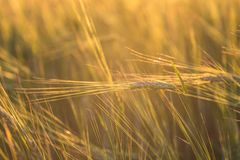 Close up of a wheat field Stock Images