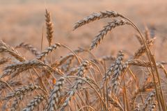 Close up of a wheat field Stock Photos