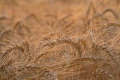 Close up of a wheat field Royalty Free Stock Images