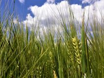 Green wheat field in the summer day royalty free stock photo