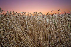 Close-up of  Wheat field at sunset Royalty Free Stock Images