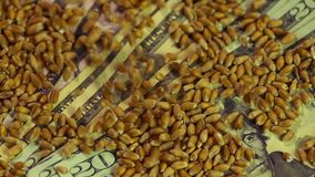 Close-up of wheat grain dropping on US dollar bills, agricultural business. Stock footage stock footage