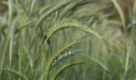 Close up wheat grain Royalty Free Stock Photo