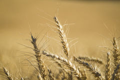 Close up, wheat, harvest time Royalty Free Stock Photography