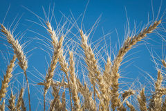 Close up, wheat, harvest time Stock Photo