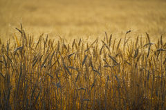 Close up, wheat, harvest time Royalty Free Stock Image
