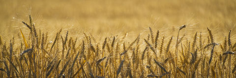 Close up, wheat, harvest time stock image