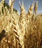 Close-up wheat heads royalty free stock photo