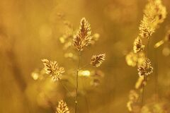Close-up of Wheat Plant during Sunset Royalty Free Stock Photo