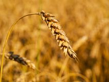 Close-up of wheat spike on wheat field background stock photography
