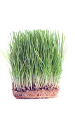 Close up of a wheat sprouts Royalty Free Stock Photo