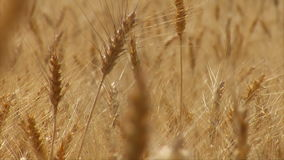 Close up on wheat stalk with the rack focus. Video of close up on wheat stalk with the rack focus stock video footage
