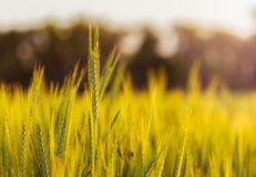 Close-up of wheat straw on field Royalty Free Stock Photos