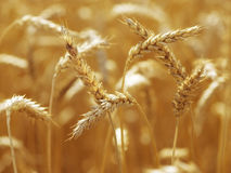 Close up of Wheatfield brigtly sun light Royalty Free Stock Photos