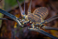 Close up of a whip Scorpion walking toward viewer through dry leafs, whip Scorpion amblypygi inside of the forest in Stock Images