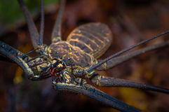 Close up of a whip Scorpion walking toward viewer through dry leafs, whip Scorpion amblypygi inside of the forest in Stock Photo