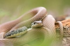 Close up of a Whip snake Stock Image