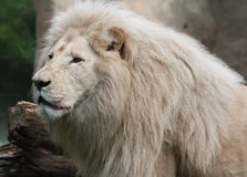 White african lion. Close up White african lion resting stock photos