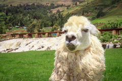 Close up of a white alpacas head Stock Images