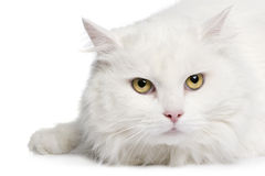 Close-up on a white angora cat (5 years) Stock Images