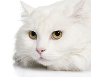 Close-up on a white angora cat (5 years) Stock Photo