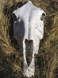 White animal skull on dry hay. Close-up of white animal skull on dry hay royalty free stock images