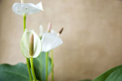 Close up white anthurium with copyspace Stock Photography