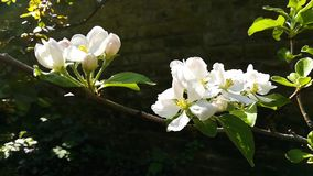 Close-up of  white apple blossom stock video