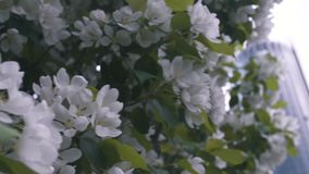 Close-up of white apple blossoms and green leaves on the apple tree against the modern glass building and grey sky stock video