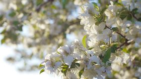 Blooming apple tree in the garden at dawn on a spring morning. Close-up of white apple blossoms in the spring morning at sunrise stock video footage