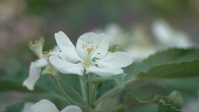 Blooming apple tree in the garden at dawn on a spring morning. Close-up of white apple blossoms in the spring morning at sunrise stock footage
