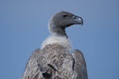 Close-up of a White-Backed Vulture Royalty Free Stock Images