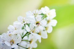 Close up of white bird cherry inflorescence Royalty Free Stock Images
