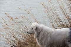 White and Black Australian Shepherd at the Shoreline. Close up of a white and black Australian Shepherd standing on a river bank among tall dried grass. She is Royalty Free Stock Images