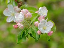 Close up of white blooming apple flowers and some pink buds. Close up of white blooming apple tree flowers and some pink buds stock image