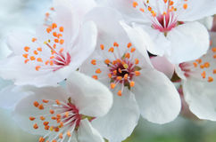 Close up of white blossoms of plum tree Royalty Free Stock Photography