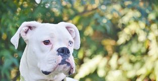 Close up of a white boxer dog. Stock Photo