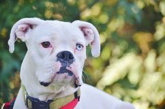 Close-up of a white boxer dog. Royalty Free Stock Photos