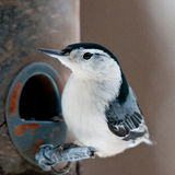 Close-up of white-breasted nuthatch. White breasted nuthatch (Sitta carolinensis)  sits on the bird feeder, close up Royalty Free Stock Images