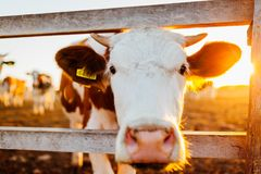 Close-up of white and brown cow on farm yard at sunset. Cattle walking outdoors in summer. Countryside Royalty Free Stock Photo