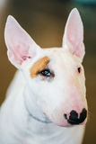 Close Up White Bullterrier Dog Royalty Free Stock Photo