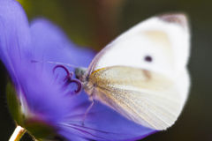 Close-up of white butterfly. White butterfly sitting on a flower Stock Photos