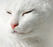 Close up of white cat Royalty Free Stock Image