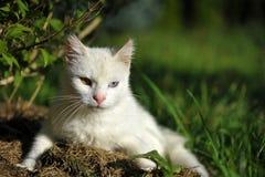 Close-up of white cat with heterochromia Stock Photo