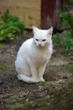 Close-up of white cat with heterochromia Stock Image