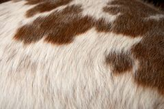 Close up on white cattle hair with brown spots Royalty Free Stock Photography