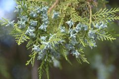 Close up of white cedar flowering branches. The Close up of white cedar flowering branches Royalty Free Stock Photography