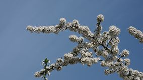 Close up white cherry blossom over clear blue sky stock footage