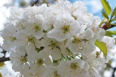 White cherry blossoms on tree Royalty Free Stock Images